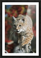 Bobcat (Felis Rufus) Walks Along Branch Through Red Leaves Of A Hawthorn In Autumn; Idaho, Usa Picture Frame print