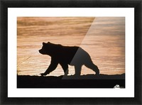 Young Grizzly Bear (Ursus Arctos) Walks Along Edge Of Lake At Sunset Picture Frame print
