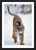 Siberian Tiger In Snow Picture Frame print