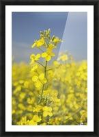 Flowering Canola, Alberta, Canada Picture Frame print