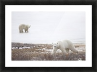 Polar Bears (Ursus Maritimus) Staring Ahead As They Walk Across The Frozen Tundra; Churchill, Manitoba, Canada Picture Frame print