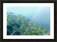 A School Of Fish Swimming Underwater; Galapagos, Equador Picture Frame print