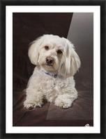 Shih Tzu-Poodle On A Brown Muslin Backdrop Picture Frame print
