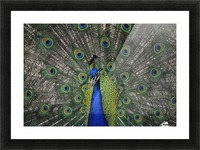 Peacock In Open Feathers, Victoria, Bc Canada Picture Frame print