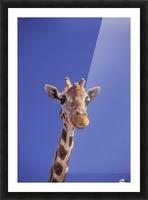 Masai Giraffe, Serengeti, Africa Picture Frame print
