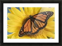 Monarch Butterfly On Sunflower. Picture Frame print