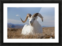 A Dall Sheep Ram Lies On A High Mountain Meadow In Denali National Park And Preserve, Interior Alaska, Autumn Picture Frame print