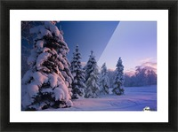 Snow Covered Spruce Trees At Sunset With Pink Alpenglow During Winter, Russian Jack Park, Anchorage, Southcentral Alaska, Usa. Picture Frame print