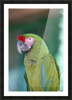 Close up of a parrot;Puerto vallarta mexico Picture Frame print