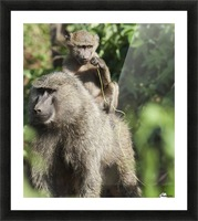 A monkey and it's baby sitting on her back in the maasai mara national reserve;Maasai mara kenya Picture Frame print