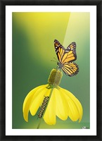 Caterpillar to butterfly;British columbia canada Picture Frame print