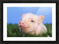 Baby pig lying on grass;British columbia canada Picture Frame print