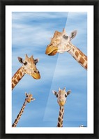 Four giraffes looking downward;Africa Picture Frame print