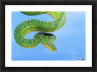 Emerald tree boa (corallus caninus) on a blue background;British columbia canada Picture Frame print