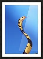 Forest cobra (naja melanoleuca) against a blue background;British columbia canada Picture Frame print