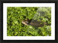 A Red-Legged Frog Rests In Small Plants; Astoria, Oregon, United States Of America Picture Frame print