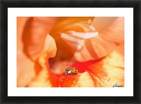A Ladybug Beetle Searches For Prey In A Gladiolus Blossom; Astoria, Oregon, United States Of America Picture Frame print