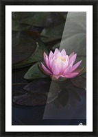 A water lily blooms in a pond; Astoria, Oregon, United States of America Picture Frame print