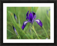 Oregon Iris (Iris tenax) blooms in the forest; Florence, Oregon, United States of America Picture Frame print