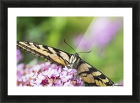 A swallowtail butterfly seeks nectar on a butterfly bush; Astoria, Oregon, United States of America Picture Frame print