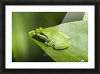 A Pacific Tree Frog (Pseudacris regilla) rests on a Wapato Leaf; Astoria, Oregon, United States of America Picture Frame print