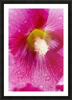 Close up of Hollyhocks (Alcea rosea); Quebec, Canada Picture Frame print