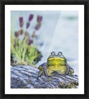 Bull frog (rana catesbeiana) resting on a log beside a lake; Ontario, Canada Picture Frame print