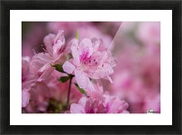 Pericat hybrid azaleas (Mrs. Fisher), Rhododendron (Ericaceae), New York Botanical Garden; New York City, New York, United States of America Picture Frame print