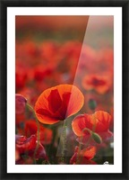 Common Poppy (Papaver rhoeas) covering an arable field; North Yorkshire, England Picture Frame print
