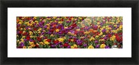 Tulips at the Canadian Tulip festival; Ottawa, Ontario, Canada Picture Frame print