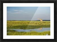 Giraffe (Giraffa camelopardalis), Chobe National Park; Kasane, Botswana Picture Frame print