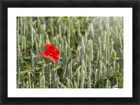 Close up of red poppy in a green wheat field; Brehec, Brittany, France Picture Frame print