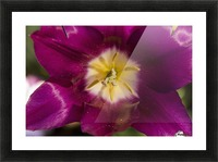 Red tulip, Andre Rieu (tulipa), New York Botanical Garden; New York City, New York, United States of America Picture Frame print