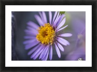 Siberian Aster along the Marsh Fork of the Canning River in the Arctic National Wildlife Refuge, Summer, Alaska   Picture Frame print