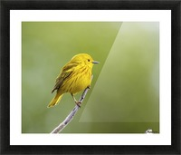 Yellow warbler (Setophaga petechia) perched during spring time; Chateauguay, Quebec, Canada Picture Frame print