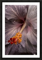 Close up of a Hibiscus flower with water droplets; Hawaii, United States of America Picture Frame print