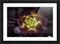 Purple and green Aeonium, Dublin Botanic Garden; Dublin, Leister, Ireland Picture Frame print