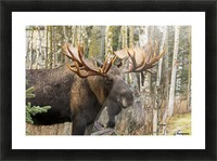 Bull moose (alces alces), rutting season; Alaska, United States of America Picture Frame print