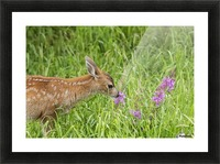 Sitka Black-tailed deer fawn (Odocoileus hemionus sitkensis) munches on fireweed (Chamerion angustifolium) in pasture, captive animal at the Alaska Wildlife Conservation Centre; Portage, Alaska, United States of America Picture Frame print