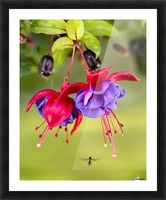 Close up of fuchsia and insect in garden; South-central Alaska; Eagle River, Alaska, United States of America Picture Frame print