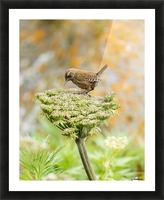 Pacific wren (Troglodytes pacificus) perched on wild celery on St. Paul Island in Southwest Alaska; St. Paul Island, Pribilof Islands, Alaska, United States of America Picture Frame print