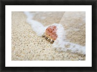 A close up of a cowry shell on the beach; St. Croix, Virgin Islands, United States of America Picture Frame print