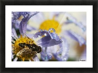 A Fly Rests On Aster Blossoms; Astoria, Oregon, United States Of America Picture Frame print