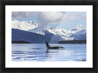 An Orca Whale (Killer Whale) (Orcinus orca) surfaces in Lynn Canal, Herbert Glacier, Inside Passage; Alaska, United States of America Picture Frame print