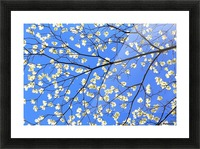 Blue Sky and Dogwood Picture Frame print