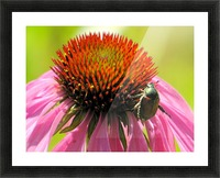 Echinacea and the Bee in Lincoln Park VP6 Picture Frame print