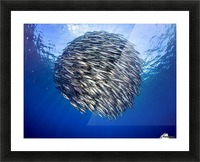 Bait ball 2 Picture Frame print