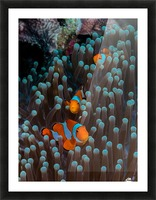clown fish Picture Frame print