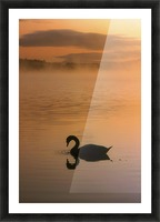 Lough Leane, Lakes Of Killarney, Co Kerry, Ireland; Silhouetted Swan Picture Frame print
