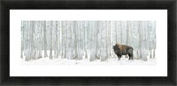 Buffalo Standing In Snow Among Poplar Trees In Elk Island National Park; Alberta, Canada Picture Frame print